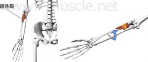 http://www.i-muscle.net/forearm1/dspination.html